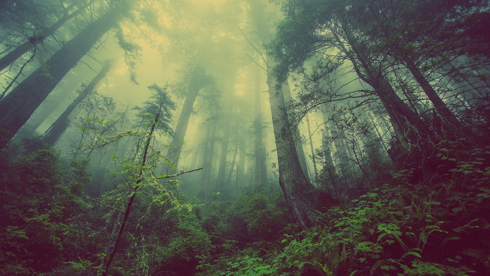Tall trees stand in a foggy forest.